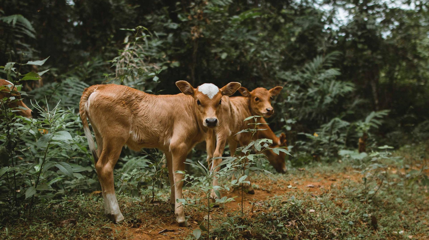 Vaches Nature Laos