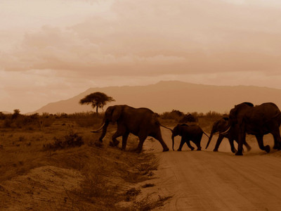 Kenya elephants